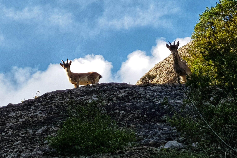 Wildlife in Montserrat
